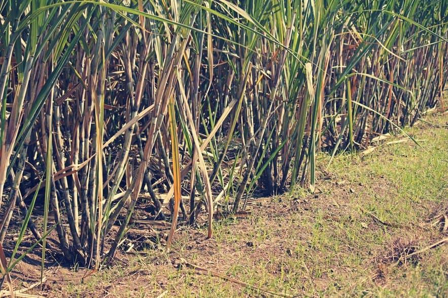 Zuckerrohrfeld: Bagasse (Zuckerrohrfasern) entsteht bei Zuckerfabrikation