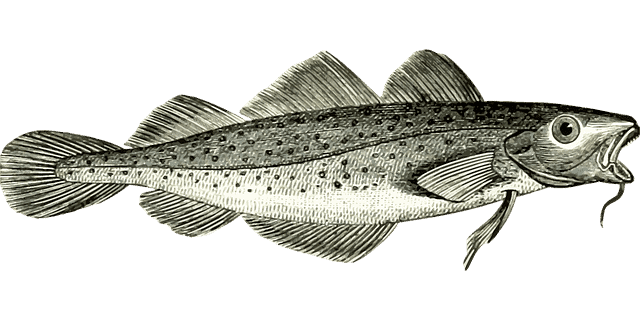Der beliebte Kabeljau, auch als Dorsch bekannt