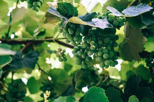 Verjus - Der Saft aus unreifen Trauben
