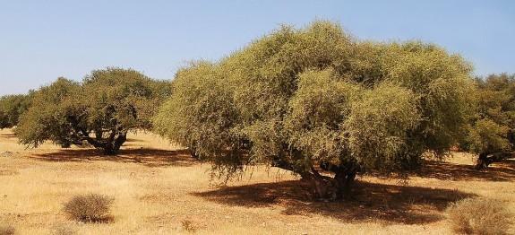 Arganöl Baum in der Wüste Marokkos