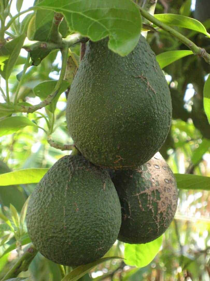 ode an die avocado eine au ergew hnliche frucht. Black Bedroom Furniture Sets. Home Design Ideas