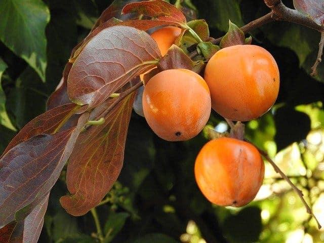 Reife Kakifrucht am Baum