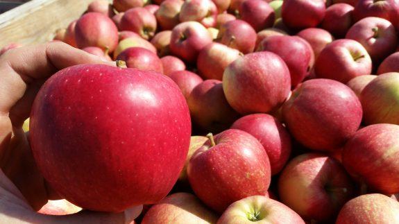 roter Apfel Apfelanbau