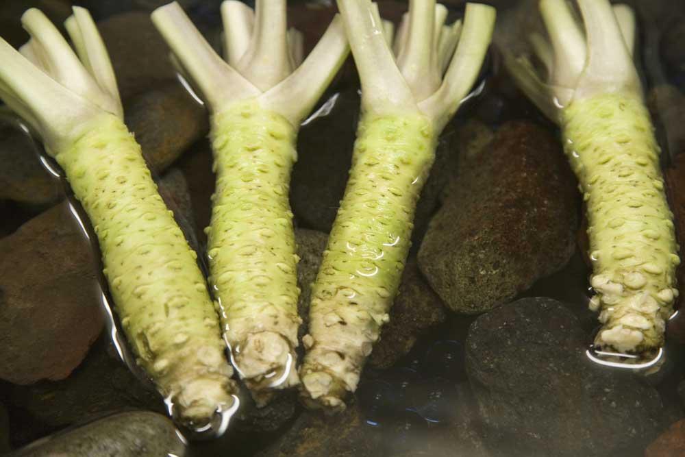 Wasabiwurzeln im Wasser